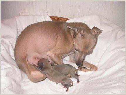 D-Wurf Mutter mit Welpen