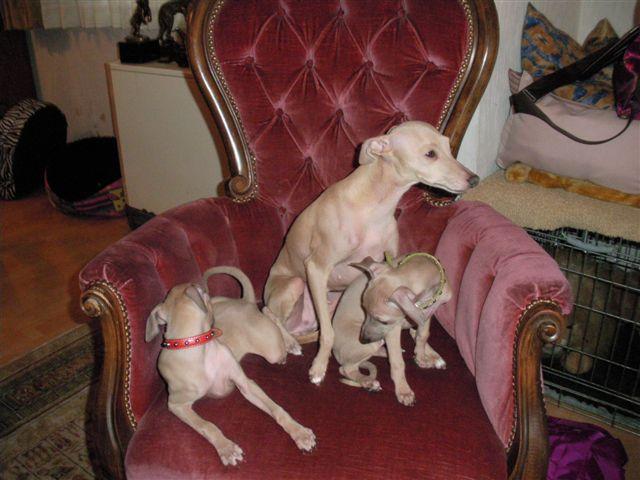 Familie im Sessel Welpen italienisches Windspiel