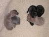 4 Welpen Isabell, schwarz und grau