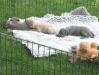 Schlafen nach der Aufregung- Welpen italienisches Windspiel