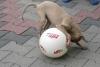 Welpe mit Ball