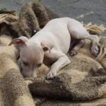 Quichotte vom Sausewind, italienisches Windspiel