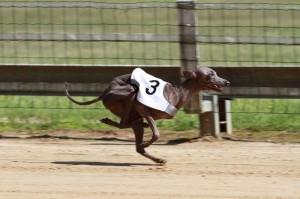 Mit Begeisterung kann Ophir in Zukunft an Windhundrennen teilnehmen